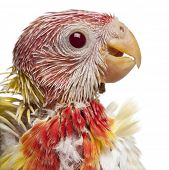 Close-up of Eastern Rosella, Platycercus eximius, 5 weeks old, in front of white background