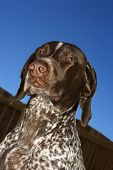 Portrait of German Shorthaired Pointer squinting outdoors.