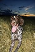 German Shorthaired Pointer with panting tongue in field at sunset.