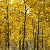 Aspen árboles en otoño amarillo color en Wyoming.