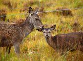 Wild Red Deer.