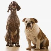 English Bulldog and German Shorthaired Pointer sitting.