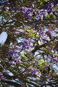 Close-up of Jacaranda tree blooming with purple flowers in Maui, Hawaii.