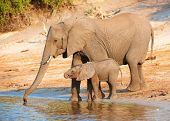 foto of baby animal  - Large herd of African elephants  - JPG