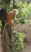 Juvenile Patas Monkey