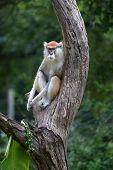 Female Patas Monkey
