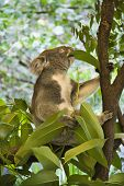 Koala in tree eating eucalyptus leaves in Australia.