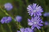 Chicory, Cichorium Intybus,  Elmore, Vermont