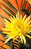 chrysanthemum with stem isolated on orange background
