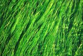 picture of green algae  - green algae - JPG