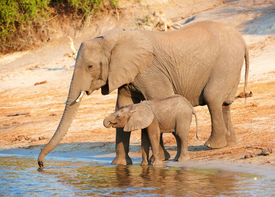 image of baby animal  - Large herd of African elephants  - JPG