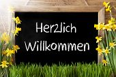 Blackboard With German Text Herzlich Willkommen Means Welcome. Sunny Spring Flowers Nacissus Or Daff poster