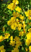 Shrubby Evening Primrose . Yellow Evening Primrose Flowers In A Garden. poster
