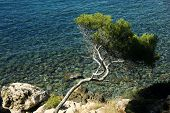 Curved Mediterraneen Pine And Clear Water