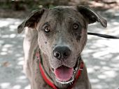 Friendly Catahoula Leopard Dog