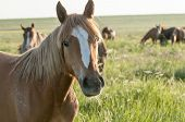 The Wild Horse, Equus Ferus, In The Steppe In The Early Morning Enlightened By Sunlight Rays. View O poster