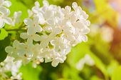 Lilac Flowers, Spring Floral Background With White Lilac Flowers In Spring Garden. Selective Focus A poster