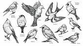 Bird Hand Drawn Vector Illustration. Flying Popular Spring Birds As Swallow, Robin, Cardinal And Oth poster