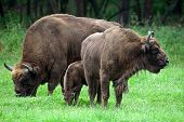 Bisons Family