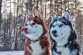 Two Beautiful Husky. Beautiful Portrait For Lifestyle Design. Portrait Beautiful Cute Siberian Husky poster