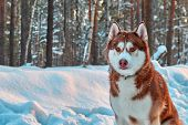 Beautiful Husky Dog In Winter Forest. Portrait Handsome Red Siberian Husky On Sun Day. poster
