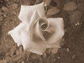 Single Rose After Rain - In Sepia