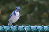 Blue Jay On A Fence