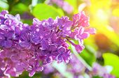 Lilac Flowers In Spring Garden. Spring Background With Spring Lilac Flowers. Blooming Lilac Flowers  poster