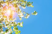 Spring Landscape. Spring Flowers Of Blooming Spring Apple Tree Against Blue Sunny Sky, Colorful Spri poster