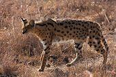 Serval