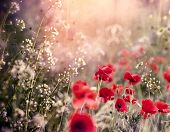 Red Poppy Flower In Meadow Between Little White Flowers - Beautiful Nature poster