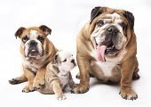 english Bulldog puppy and  adult dog
