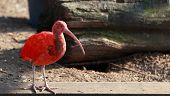stock photo of scarlet ibis  - The Scarlet Ibis  - JPG