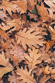 Oak Tree Leaves Background. Close Up View Of Fallen Oak Leaves. Autumn Leaves Texture And Background poster