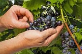 Vintner inspectores uvas em Close-Up