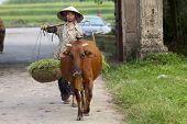 Vietnamese Woman with Water Buffalo