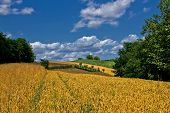 Beautiful Golden Grain Field In Summer