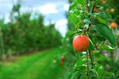 pic of apple orchard  - Red ripe apples on apple trees branches in the orchard