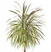 Planta de palmeira Dracaena, isolada no branco