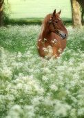 Suffolk Punch Horse In Summer Meadow