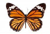 The Monarch butterfly (Danaus plexippus) isolated on white