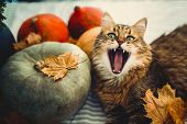 Cute Maine Coon Cat Yawning With Funny Expression, Lying In Autumn Leaves On Rustic Table With Pumpk poster