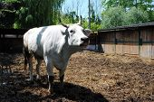 white cow in a cowshed concept of captivity