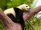 Bebê de panda gigante dormindo