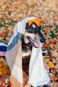 Funny Cute Female Dog Covered With Woollen Blanket Sitting On Ground In Park Among Autumn Fall Yello poster