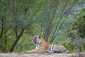 Wild Male Bengal Tiger Fateh Or T42 Resting In Green Background During Evening Safari At Ranthambore poster