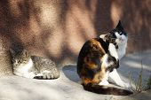 Cats Paw Scratches Behind The Ear. Fleas And Ticks In Pets. Kitty Sits In The Courtyard, A Kitten Li poster