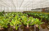 pic of crotons  - Houseplants in the greenhouse of a Dutch hydroculture plant nursery - JPG