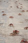 Red Crab Eating Crushed Crab in Christmas Island