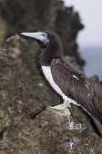 Brown Booby on Rock in Christmas Island